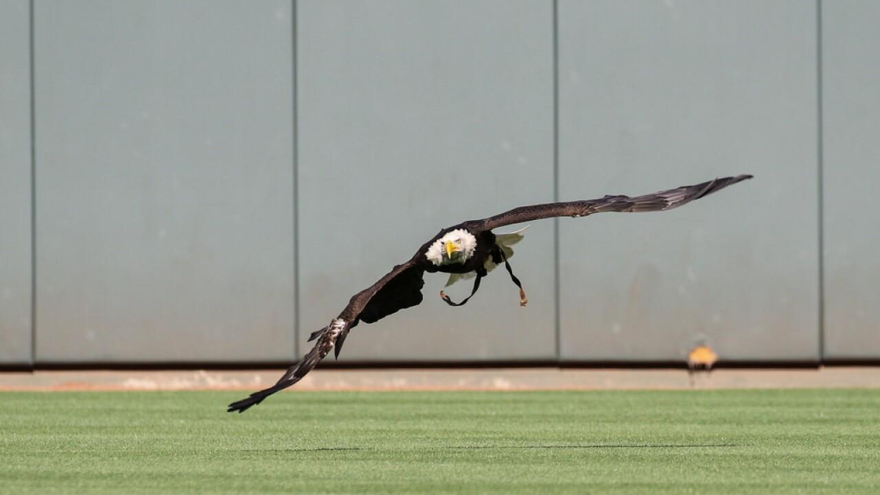 Sam bald eagle Great American Ball Park