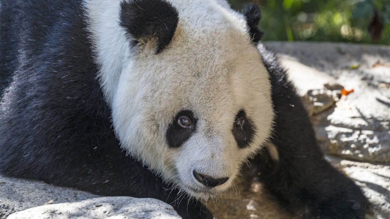 Giant Panda Gao Gao says goodbye to San Diego