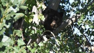 Black bear in tree in castle rock_Sep 15 2021 Colorado Parks and Wildlife