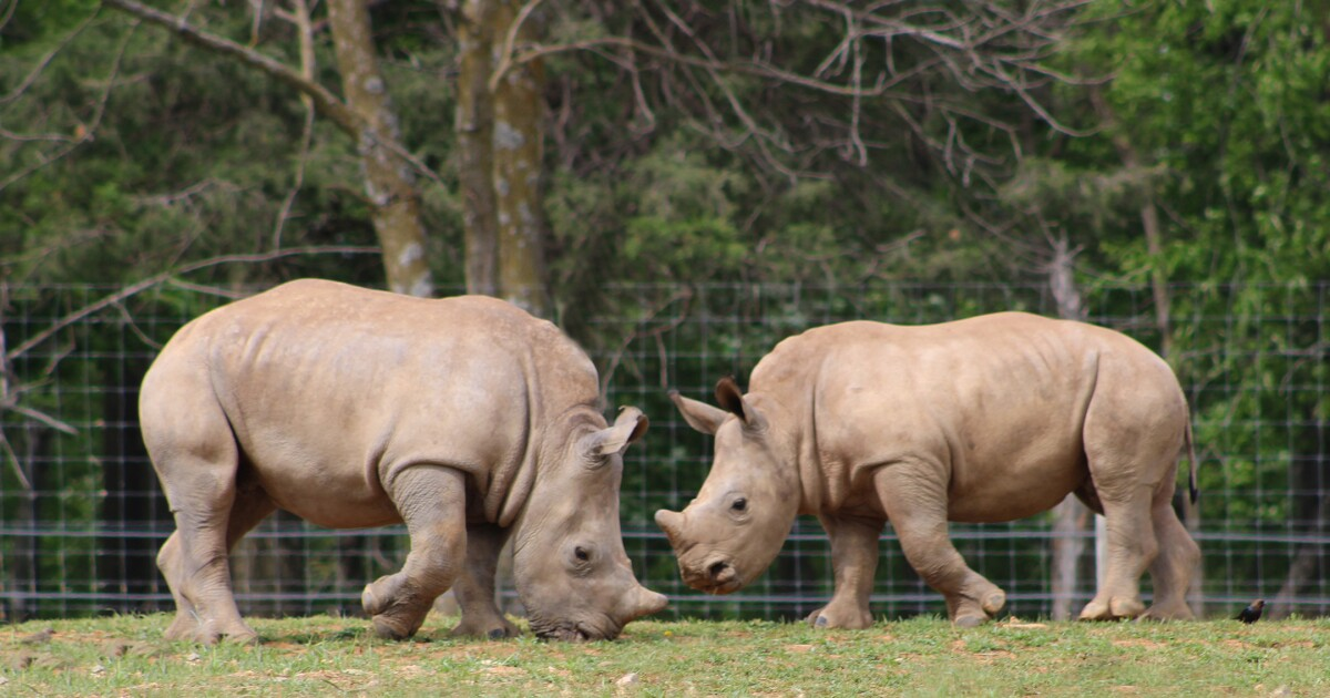 Virginia Safari Park celebrates 'Cinco de Rhino'