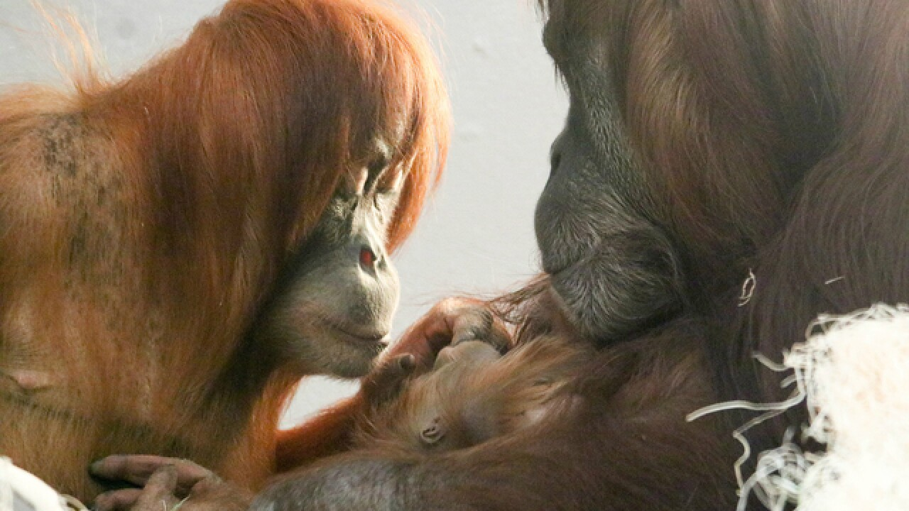 Denver Zoo's new orangutan debuted Friday