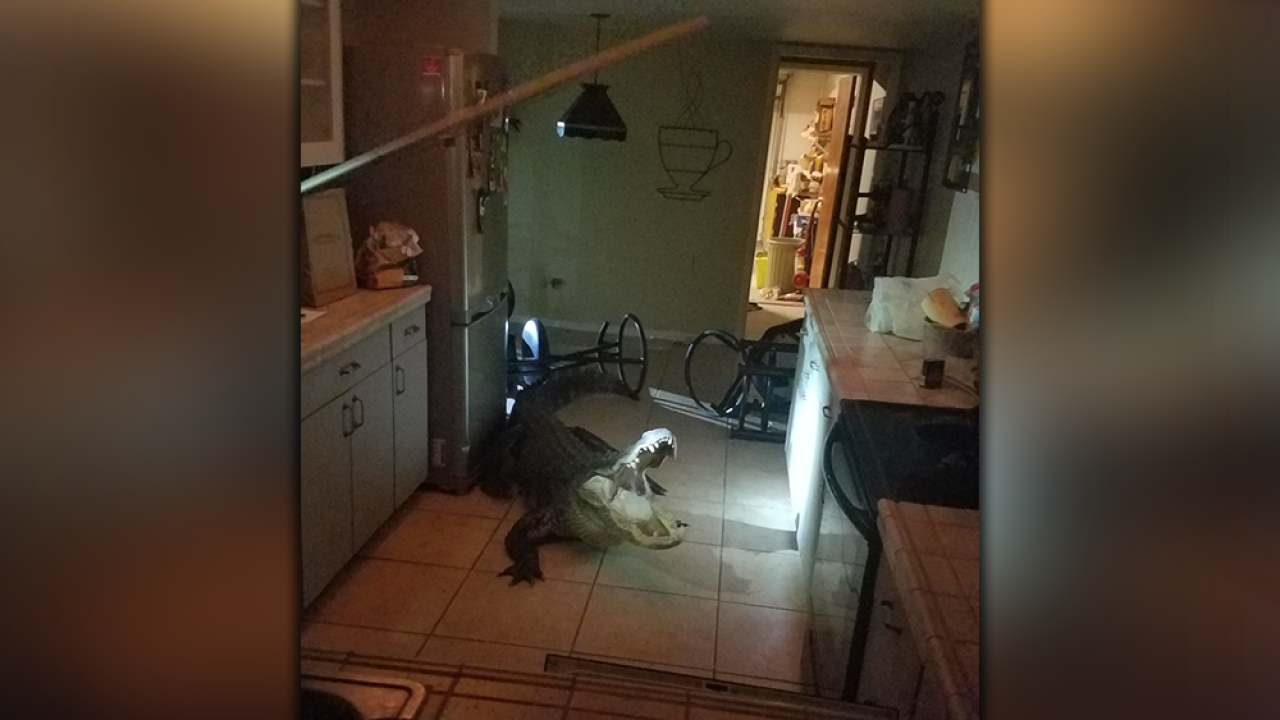 Alligator-in-kitchen.png