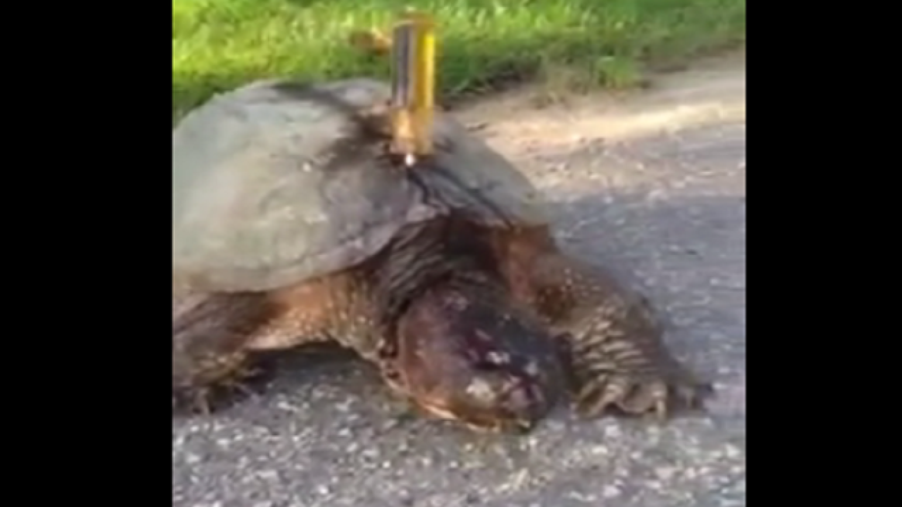 WATCH: Turtle found with screwdriver stabbed into shell
