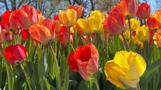 Tulips 1 - Courtesy Kim Reid Bos via Facebook.jpg