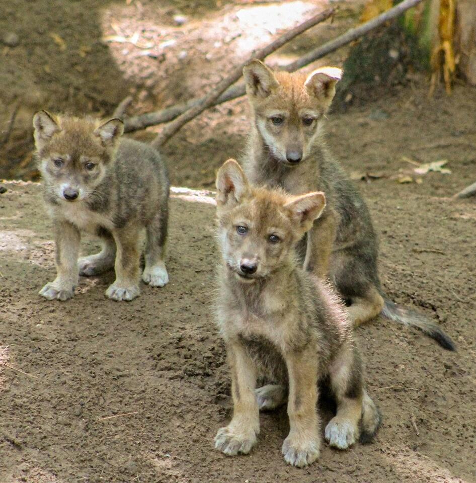 Wolf Pups.JPG