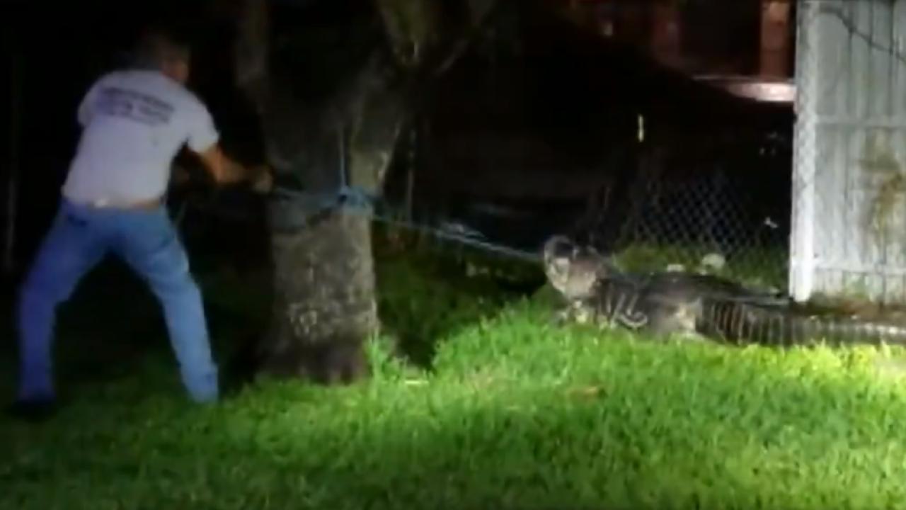 alligator crashes through fence in Miami neighborhood