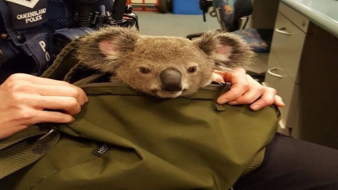 Meet Alfred: The baby koala found in a backpack!
