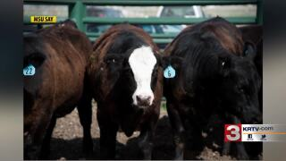 Montana Ag Network: MSU Steer-A-Year program solicits donations