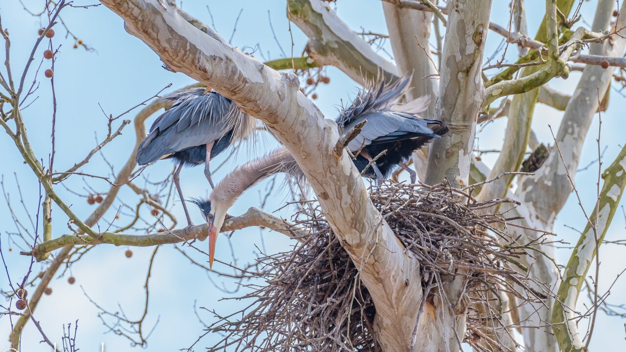 Great Blue Herons at the Bath Road Heronry at the Cuyahoga Valley National Park.