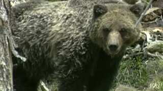 This Week in Fish and Wildlife: Grizzly Bear Advisory Council calls for applicants