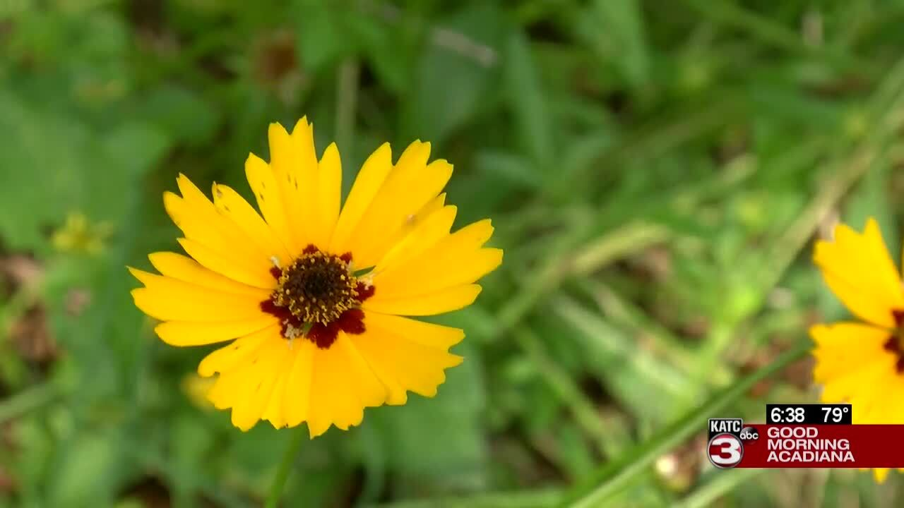 yellow native garden flower