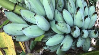 blue bananas1.png