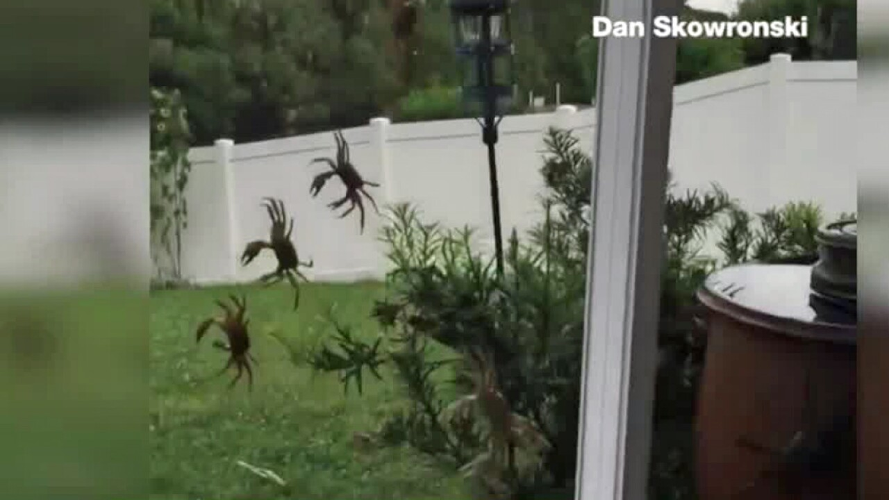 Massive crab invasion caught on camera in Florida