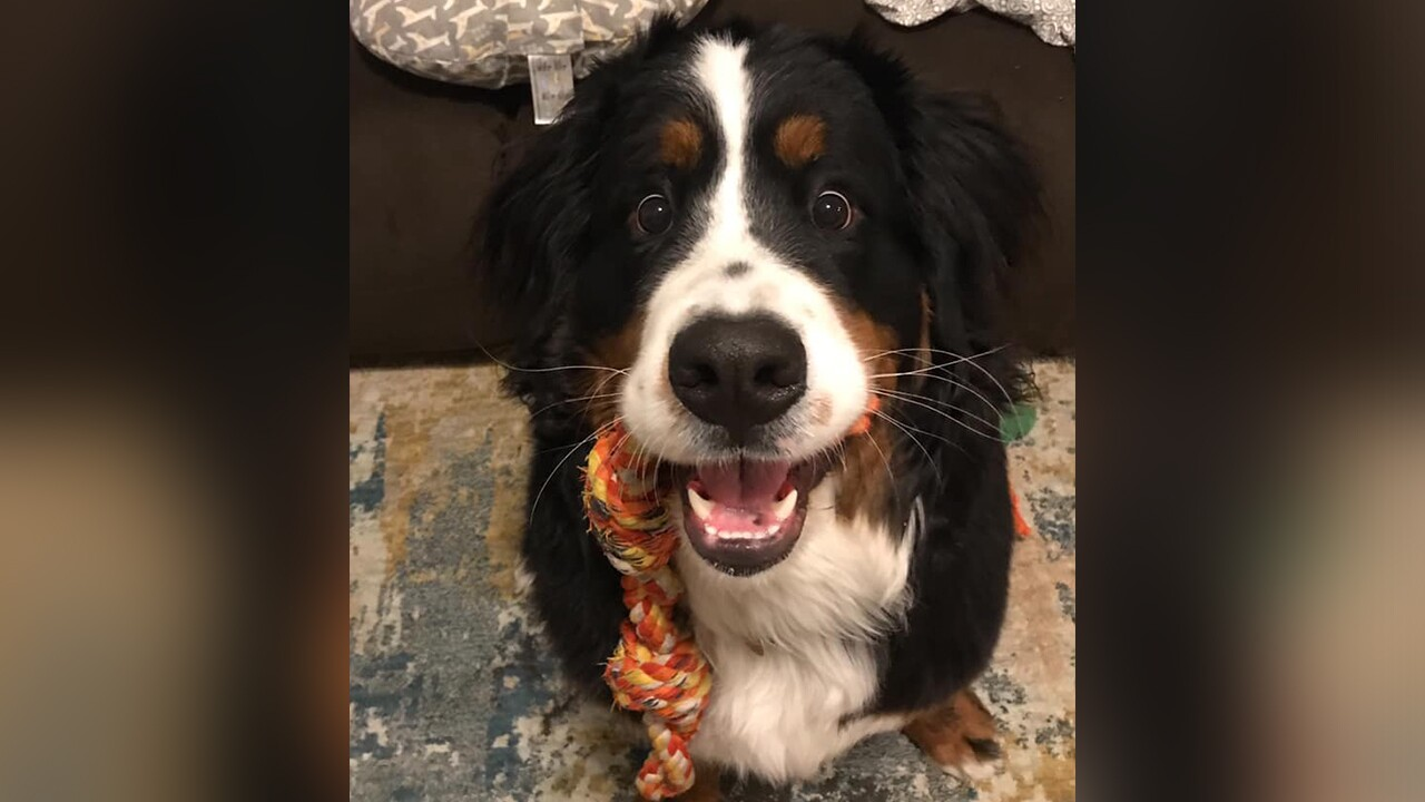 Bernese Mountain Dog owners ask for statewide help to locate missing dog