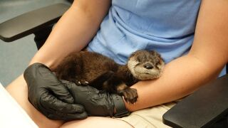 Texas State Aquarium welcomes new baby otter