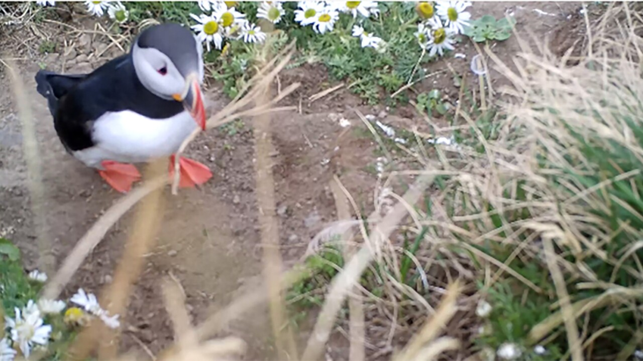 Two puffins scratched their itches with sticks – the first evidence that seabirds can use tools