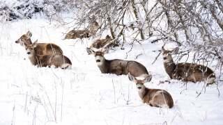 Deer in snow_Rosemary Clark