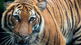 WCPO chira the tiger.jpeg
