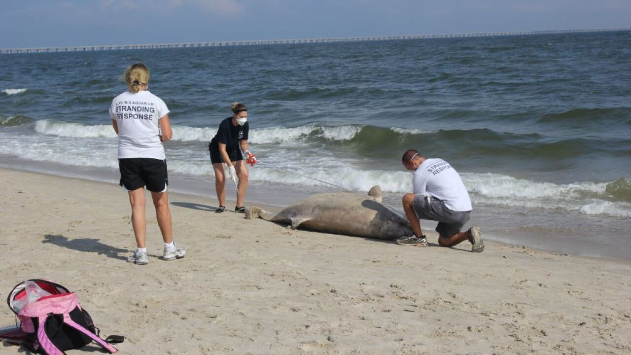 Over 300 dead dolphins recovered from Virginia beaches