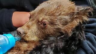 cpw bear cub ute pass.jpg