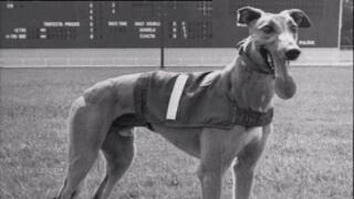 COVID-19 forces dog tracks in Florida to close for good, meaning 1,500 greyhounds need new homes