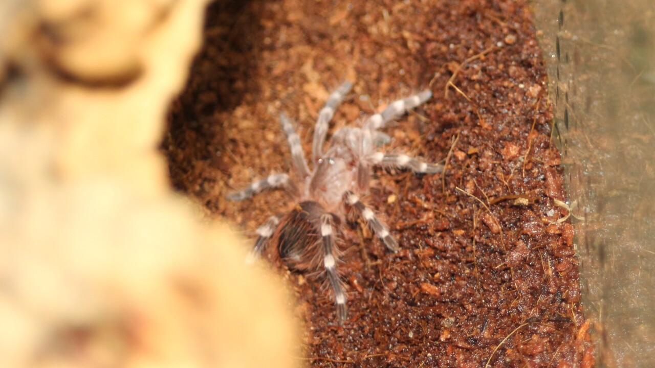 4-White kneed tarantula.JPG