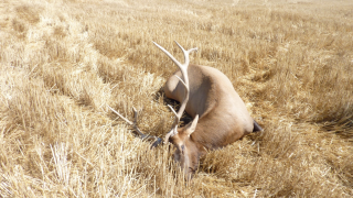 Another bull elk found left for dead in Musselshell County