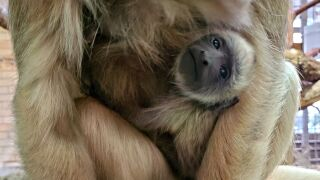 Howler monkey born at Cheyenne Mountain Zoo