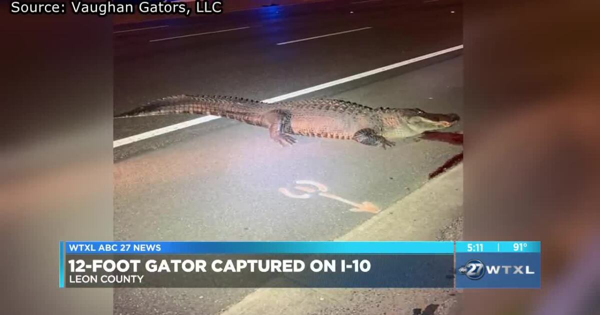 12-foot, 463 pound gator hit by semi-truck on I-10 in Leon