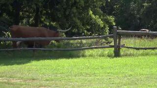 celebrity longhorn  retires in groesbeck