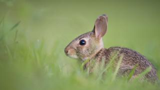 rabbit-bunny generic.PNG