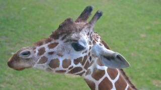 Makenna Giraffe Binder Park Zoo