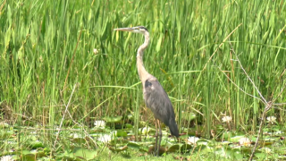 Blue Heron - Lacassine