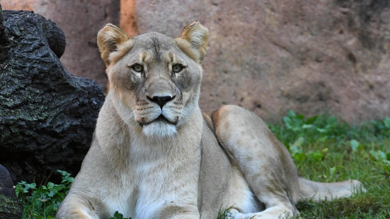 Lioness dies from fall at Chicago-area zoo less than 2 weeks after mate's death