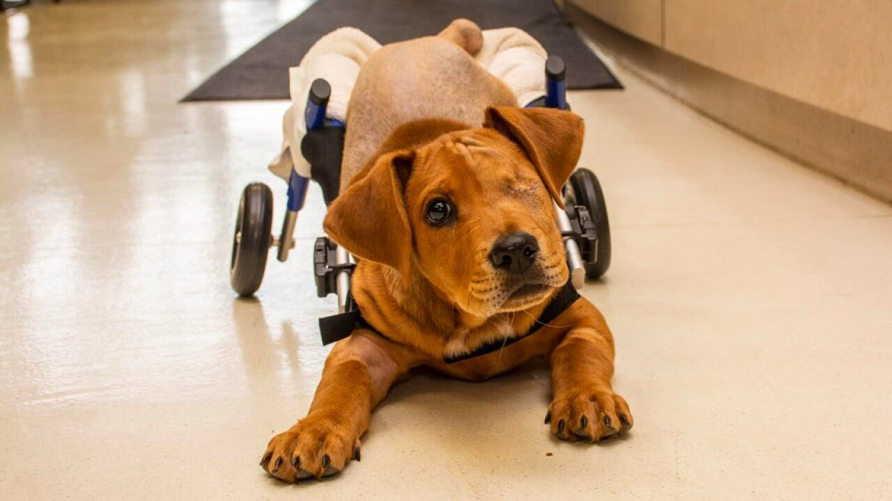 Ohio puppy hit by train gets special wheelchair to help his recovery