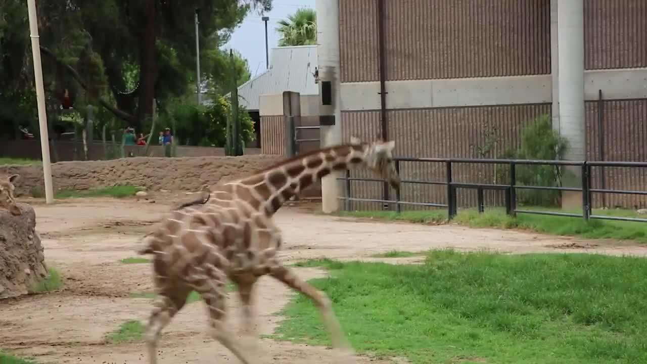 Giraffes had a joyous time in the rain at Reid Park Zoo this week.