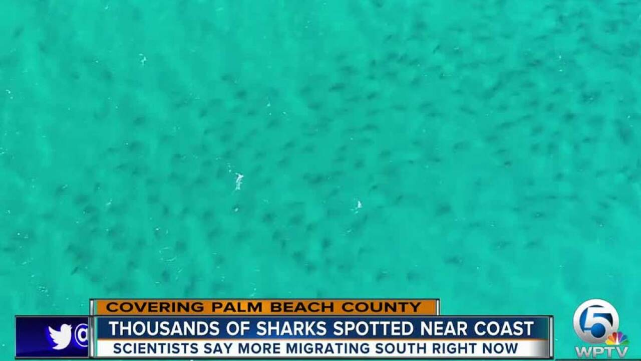 Shark migration along Palm Beach County Feb. 7, 2019