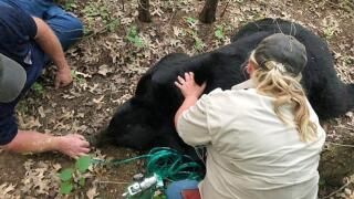 Black bear that traveled across several states in search of mate rescued, transported to safety by Missouri Department of Conservation
