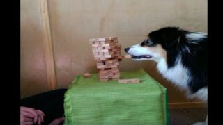 This Dog Playing Jenga Will Make Your Day