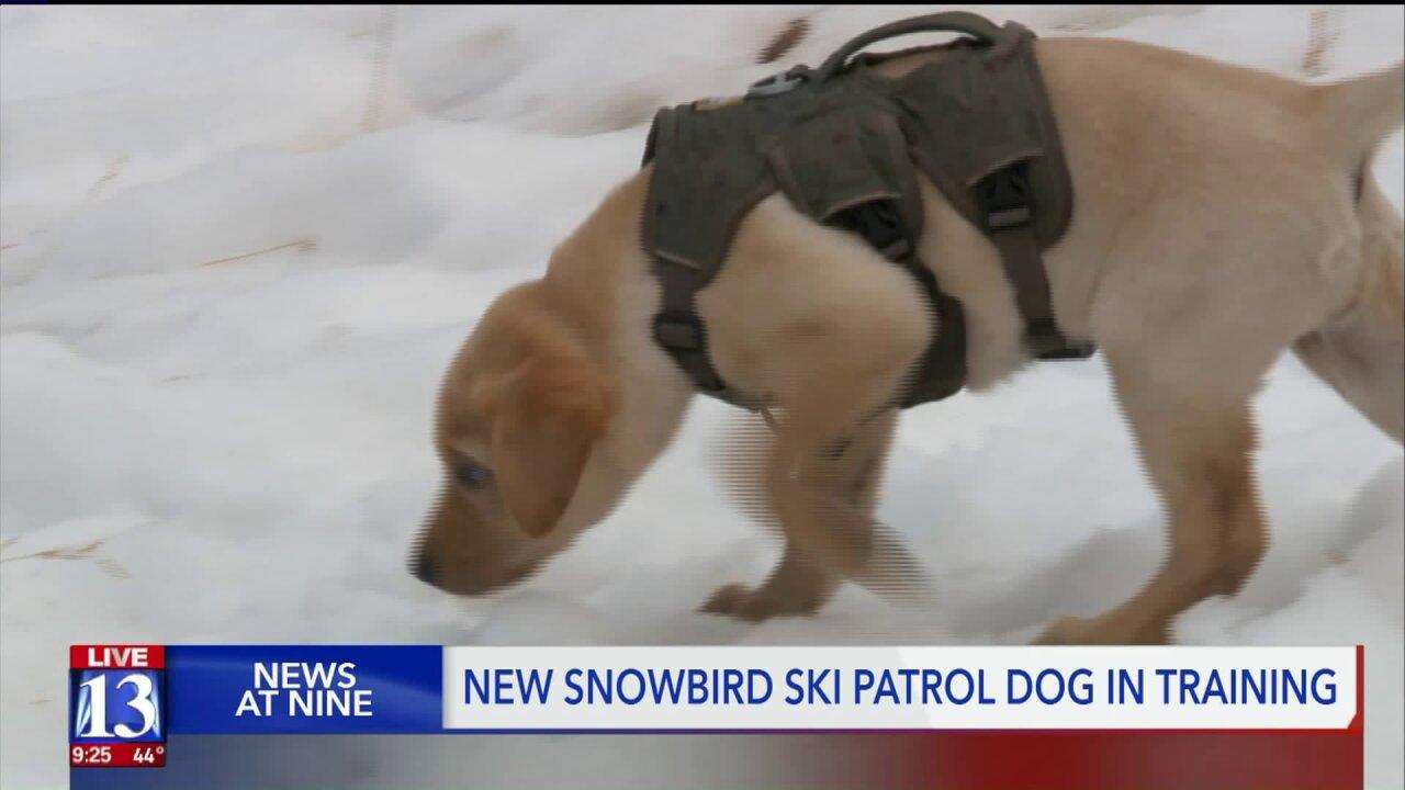 Snowbird training new ski patroldog