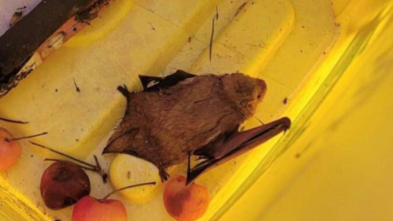 Suffolk rabid bat.jpg