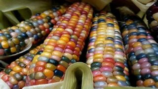Grow Your Own Edible Rainbow Corn