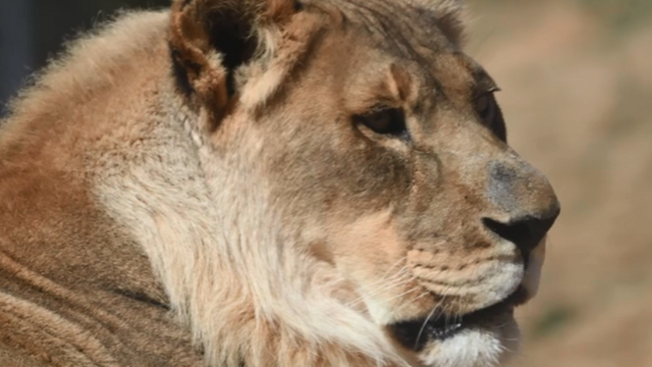Female lion with a mane has died at Oklahoma City Zoo