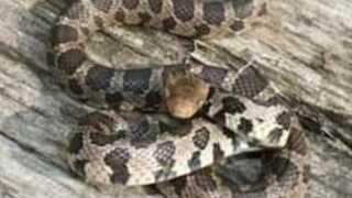 fox snake.jpg