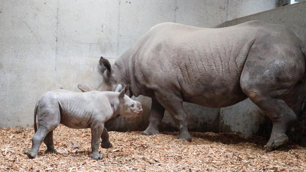 potter park zoo black rhino calf 12.JPG