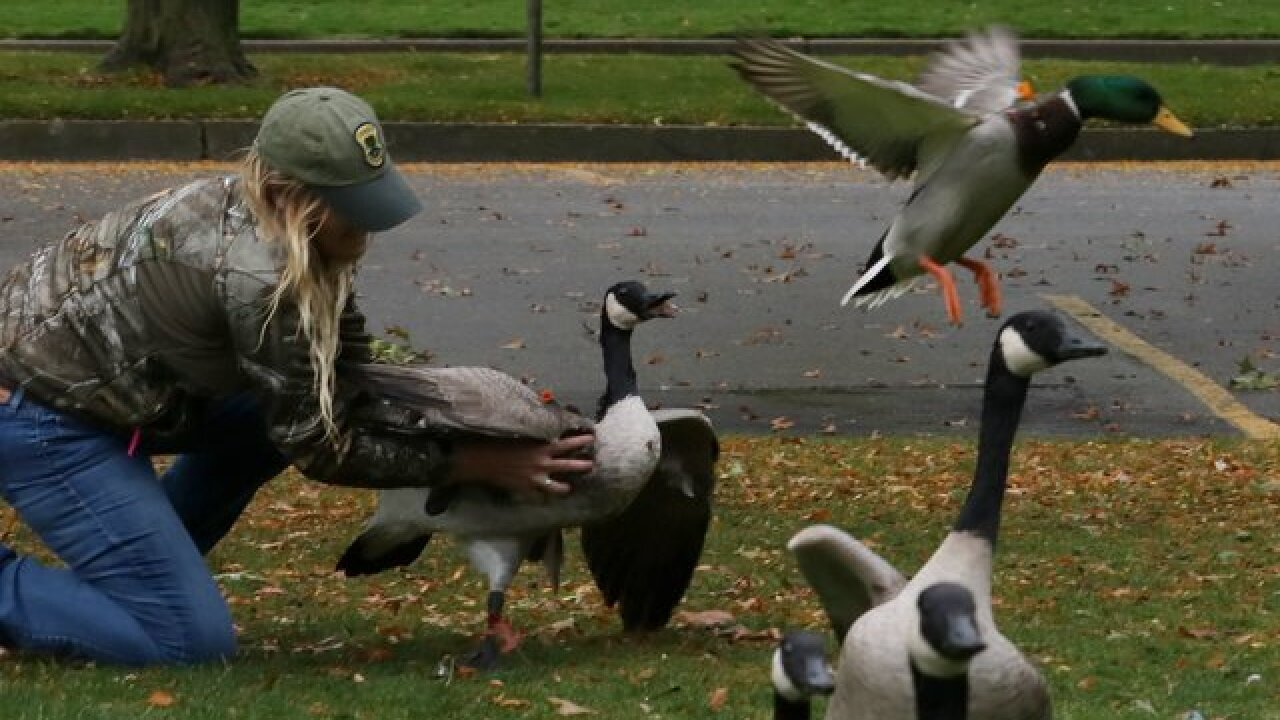 Ducks, geese shot with blow darts in Illinois