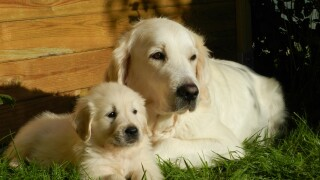 Golden Retriever Dog and pup