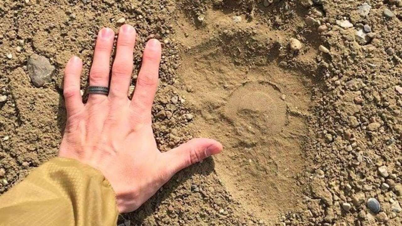First grizzly track spotted in Marias River WMA