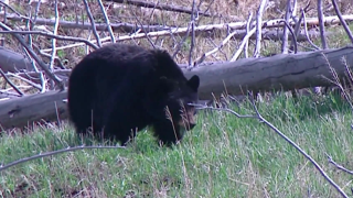 Black bear euthanized in Glacier National Park