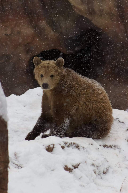 BEARS ENJOYING SNOW BEARIZONA.jfif